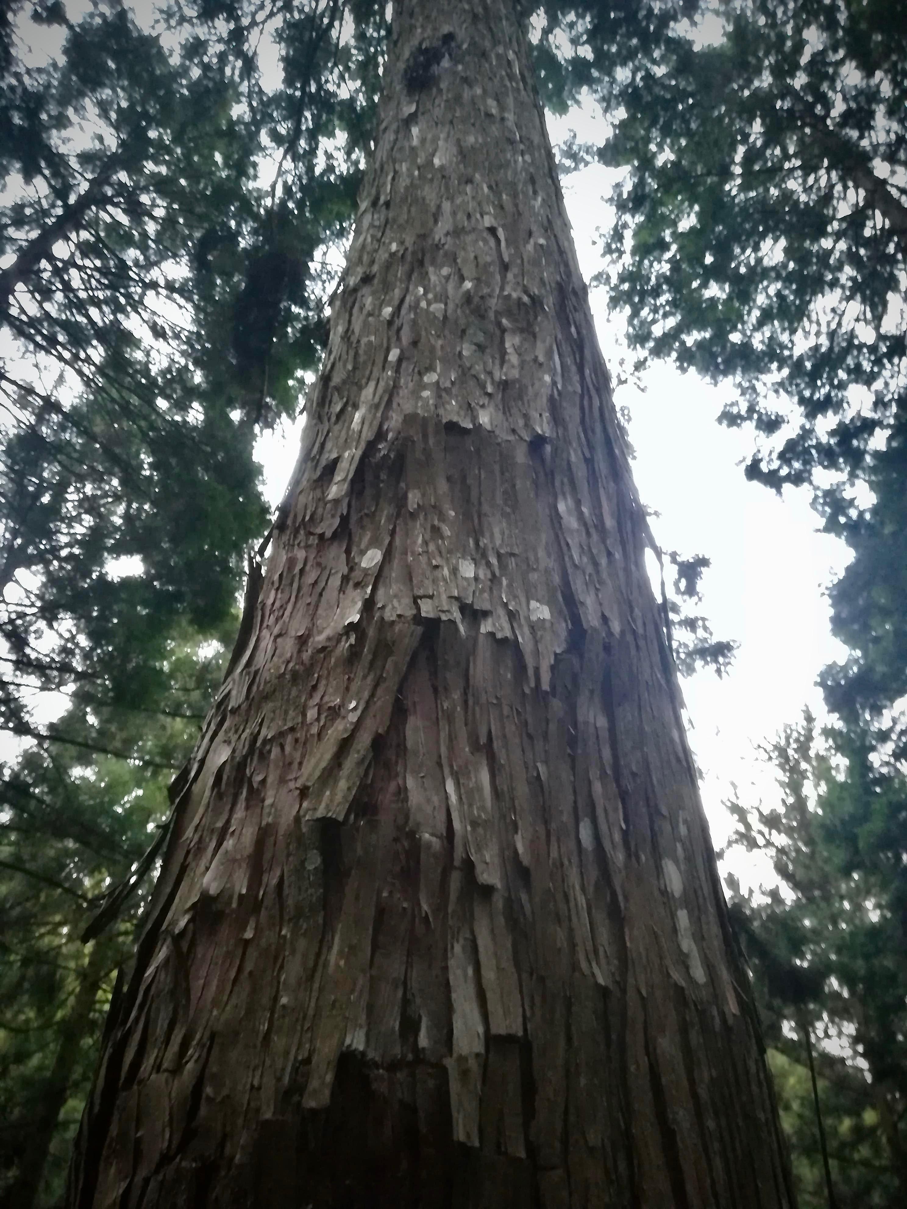 シナの入った木