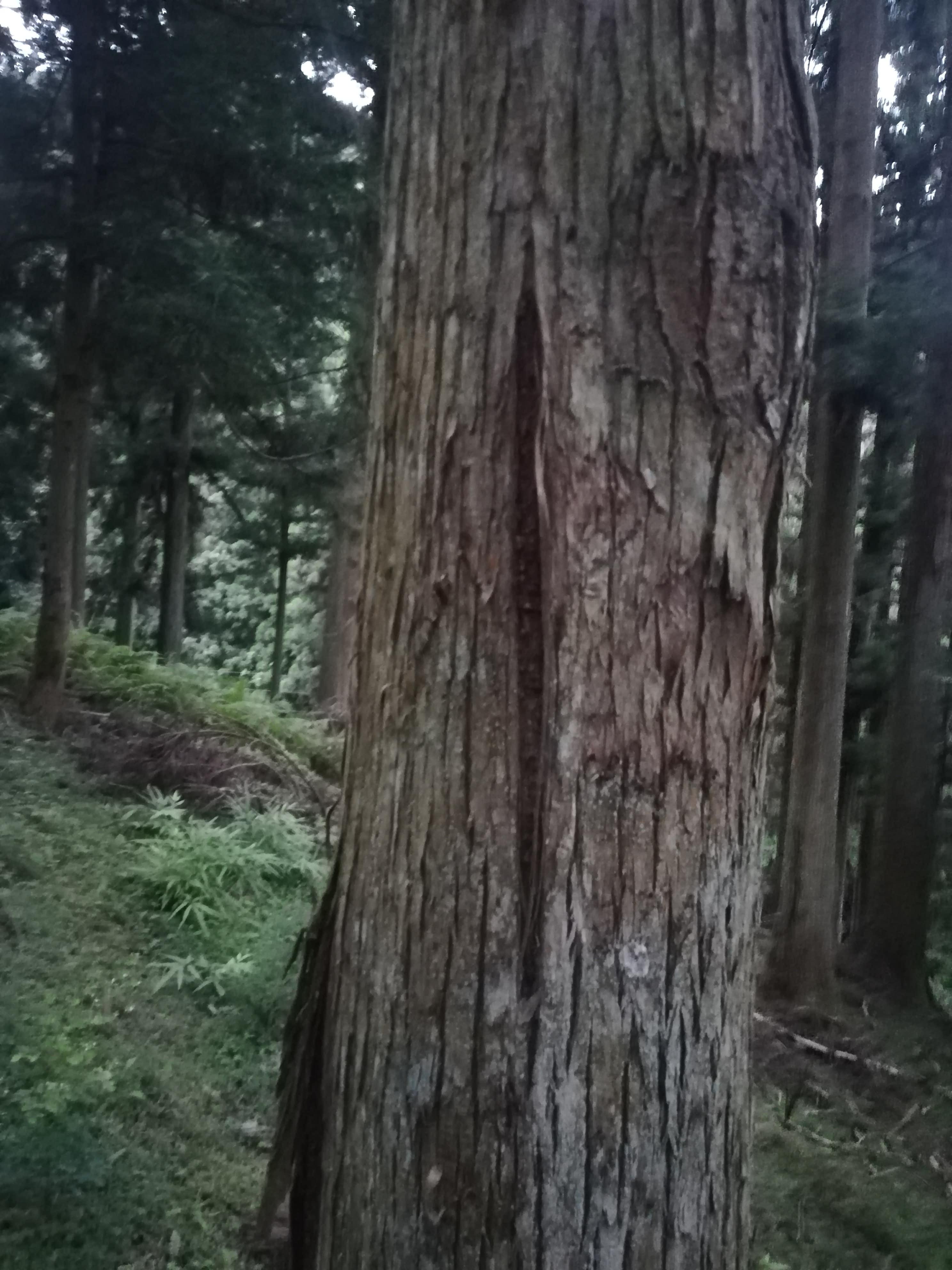 立木の目割れ